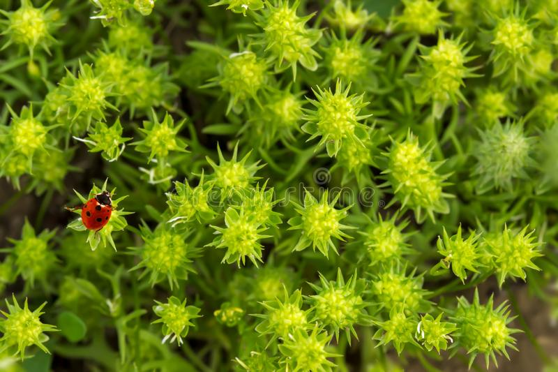 Closeup fresh morning green spiny grass and little red ladybug. Fresh morning green spiny grass and little red ladybug (Coccinellidae). Natural stock images