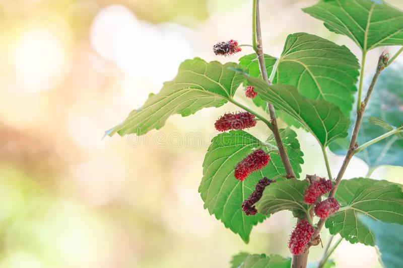 Closeup fresh red Mulberry fruits on tree and green leaves. Closeup fresh red Mulberry fruits on tree and green leaves with nature bokeh background stock photo