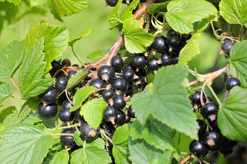 Closeup of fresh ripe black currant hanging clusters stock photo