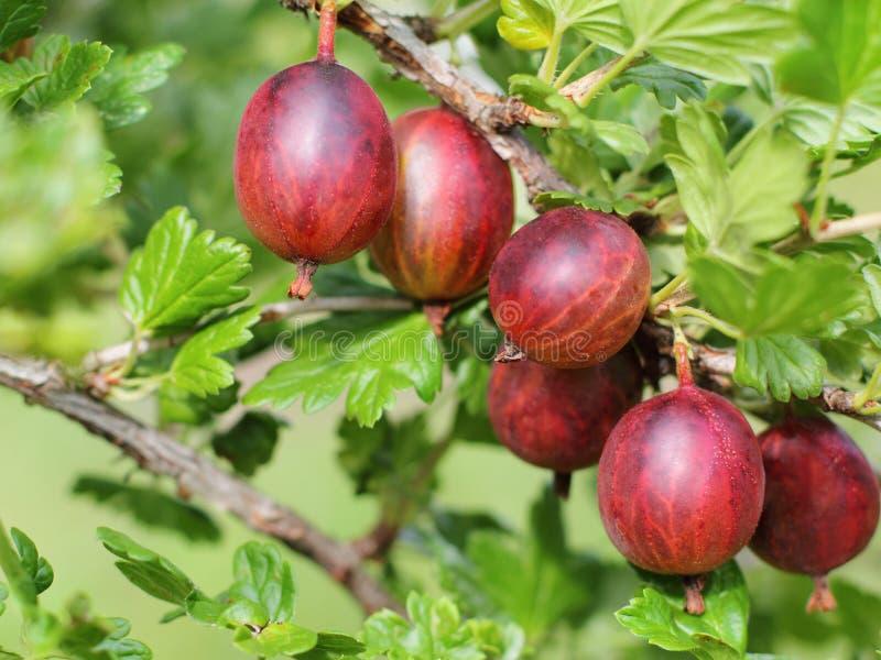 Closeup of fresh ripe gooseberry growing on bush in garden. stock photos