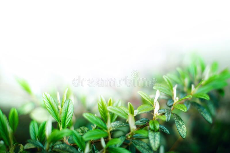 Closeup of fresh sprout with green leaves isolated on white background. With copy space for text. Soft focused, conceptual nature background flora twig backdrop stock images