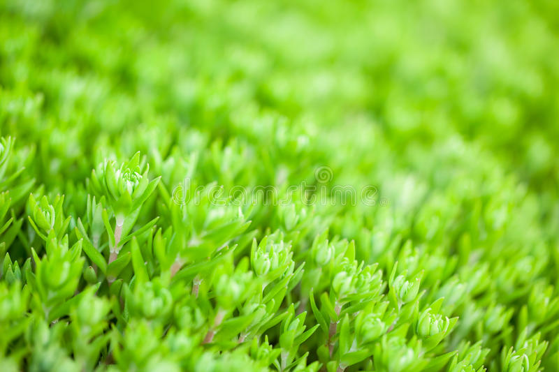 Download Stonecrop in the garden stock image. Image of nature - 29860801