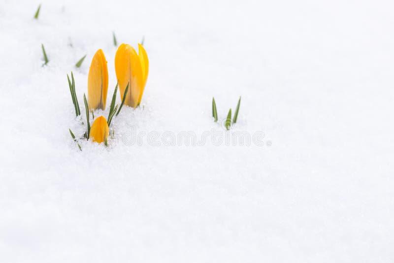 Beautiful yellow crocus buds poking through fresh snow royalty free stock photos