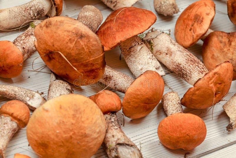 Closeup of freshly picked forest mushrooms orange scaber stalk variety on white boards desk.  stock images
