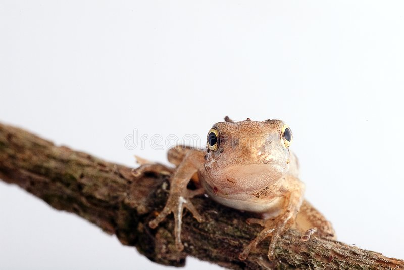 Closeup Frog isolated with white color. For the place you want to use stock image
