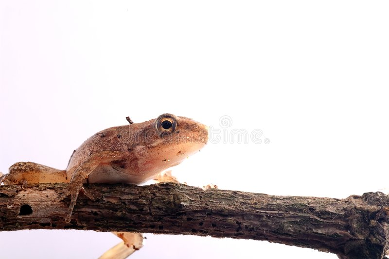 Closeup Frog isolated with white color. For the place you want to use royalty free stock photos