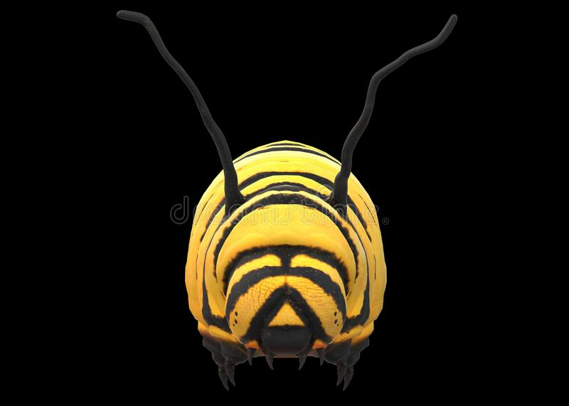 A closeup front view of a yellow caterpillar with black stripes against a black backdrop stock photo