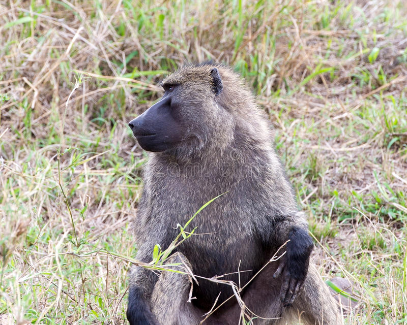 Closeup frontview of adult baboon sitting in grass with head turned to right. In the Serengeti National Park, Tanzania royalty free stock photos