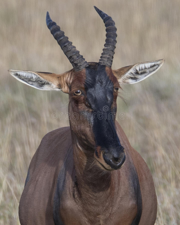Closeup frontview adult Topi head standing in grass with head raised looking at camera. In the Masai Mara National Reserve, Kenya stock photos