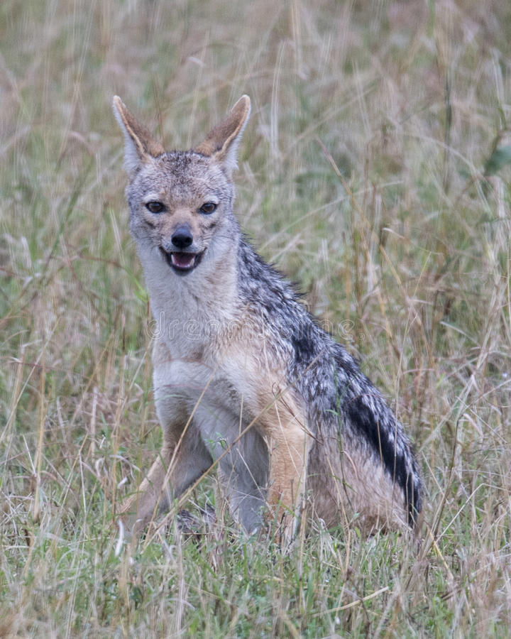 Closeup frontview of a black-backed jackal sitting in grass looking at the camera. In the Masai Mara National Reserve, Kenya stock photo