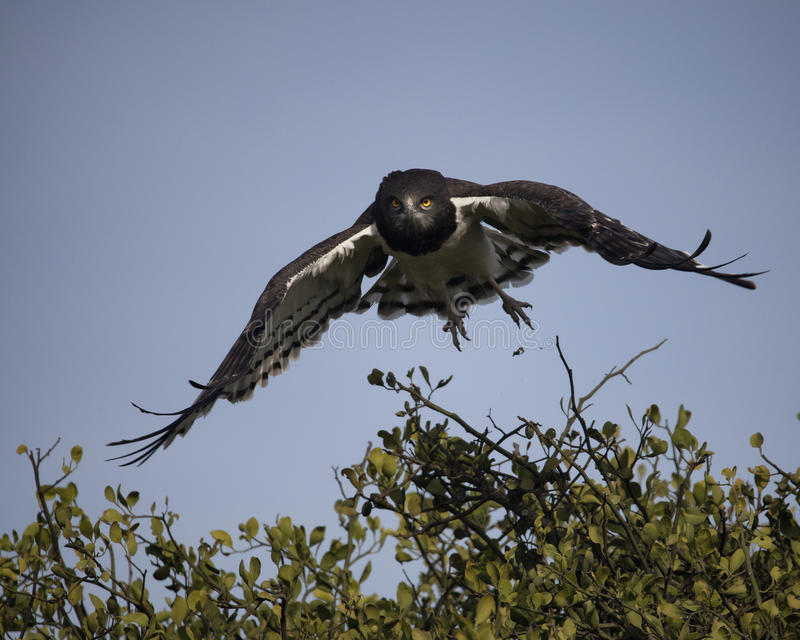 Closeup frontview of a Black-chested Harrier eagle taking off from tree flying with blue sky background. In the Masai Mara National Reserve, Kenya royalty free stock photo