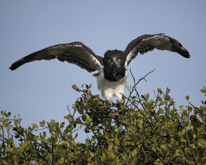 Closeup frontview of a Black-chested Harrier eagle taking off from tree flying with blue sky background. In the Masai Mara National Reserve, Kenya stock photos