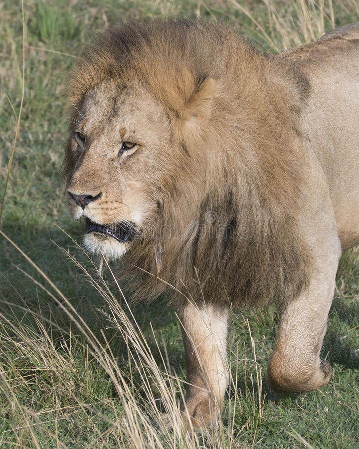 Closeup frontview face and front legs of large male lion. In the Masai Mara National Reserve, Kenya stock photography