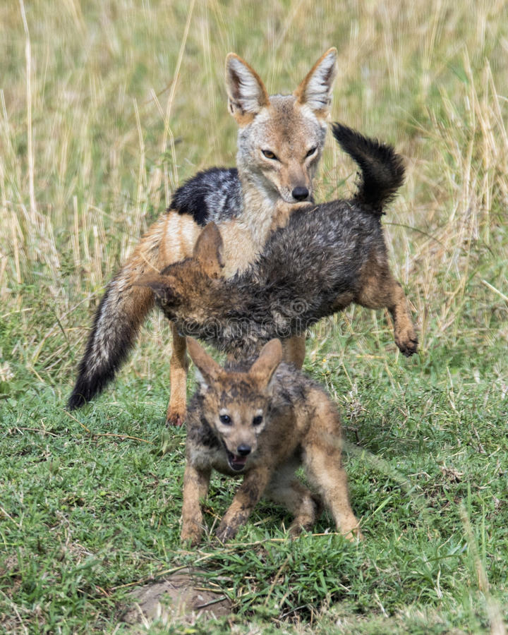 Closeup frontview of a mother black-backed jackal pulling fighting cubs apart. In the Masai Mara National Reserve, Kenya royalty free stock images