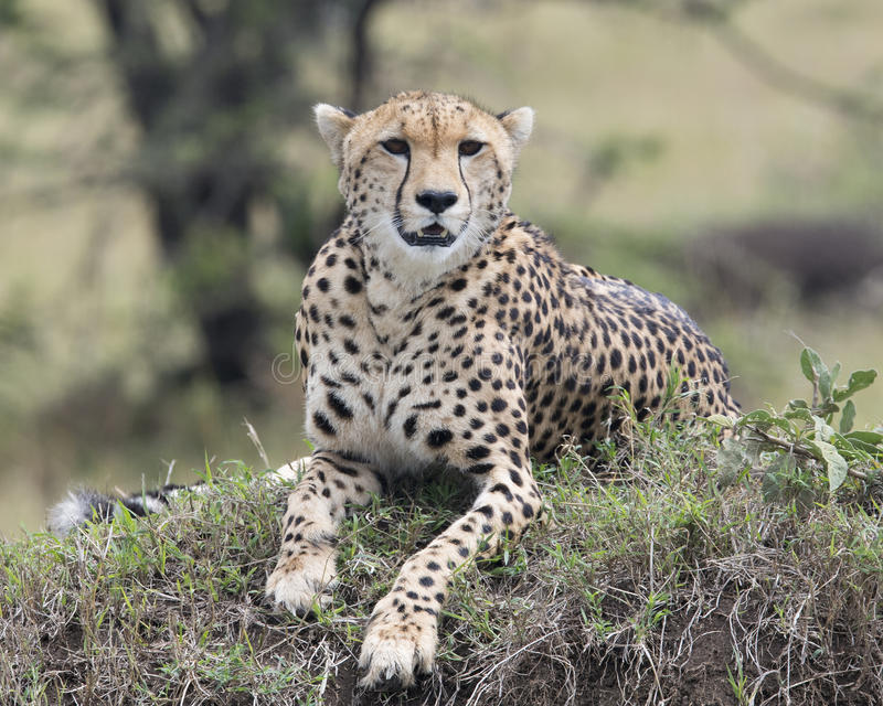 Closeup frontview of one adult cheetah resting on top of a grass covered mound. In the Masai Mara National Reserve, Kenya stock photo