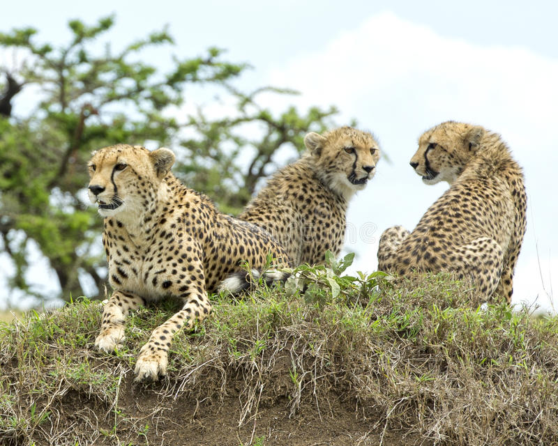 Closeup frontview of one cheetah and backview of two cheetah resting on top of a grass covered mound. Closeup frontview of three cheetah resting on top of a royalty free stock photos