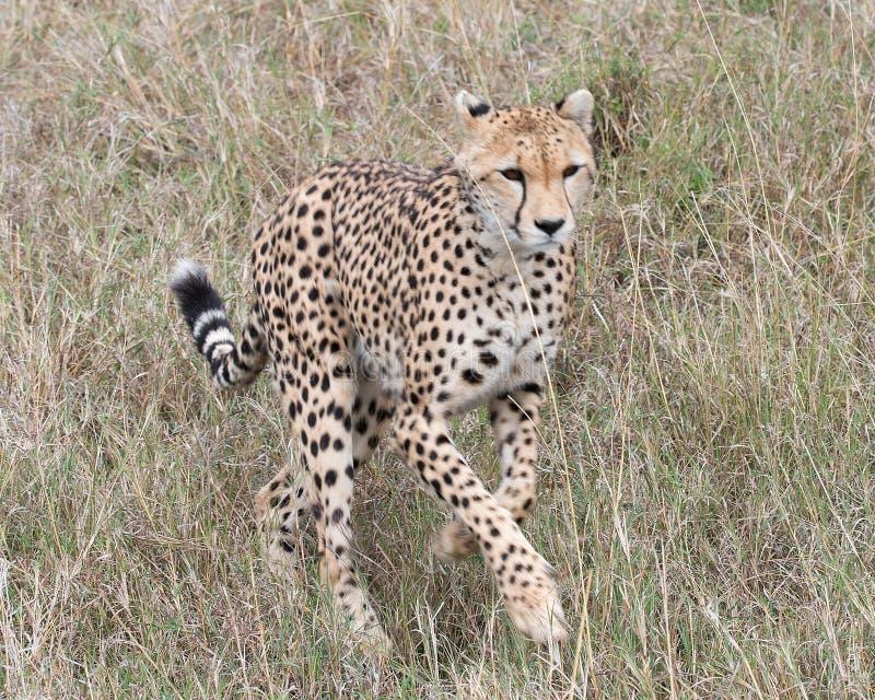 Closeup frontview of one young cheetah running toward the camera through tall grass. Closeup frontview of one young cheetah running toward the camera through royalty free stock images