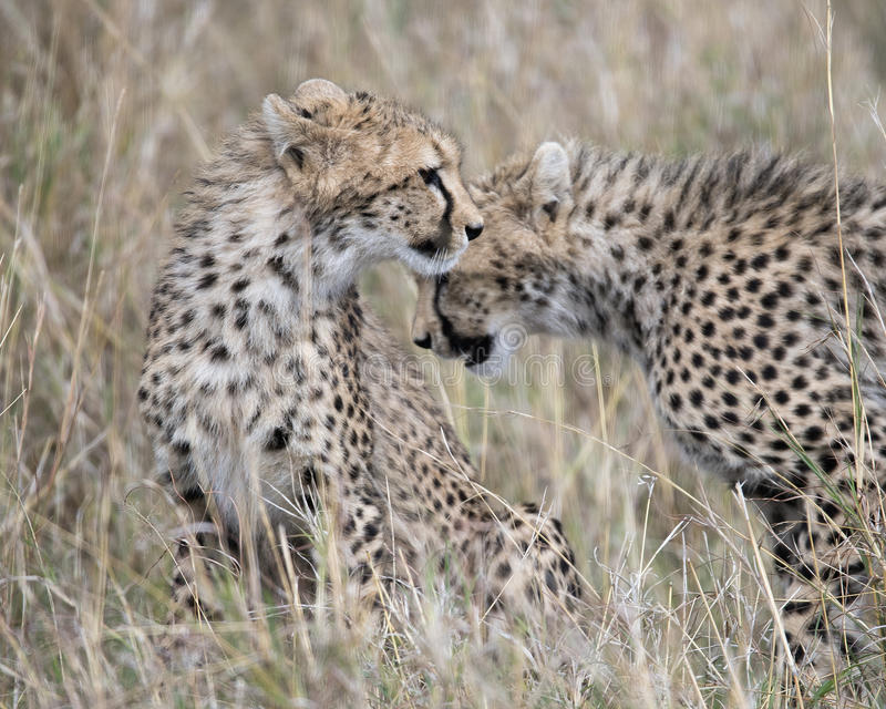 Closeup frontview of one young cheetah and sideview of a second sitting in grass with heads overlapping. In the Masai Mara National Reserve, Kenya stock photography