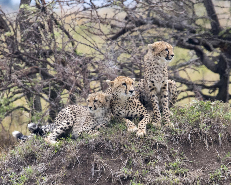 Closeup frontview of three young cheetah resting on top of a grass covered mound. Closeup frontview of three cheetah resting on top of a grass covered mound, two royalty free stock photos