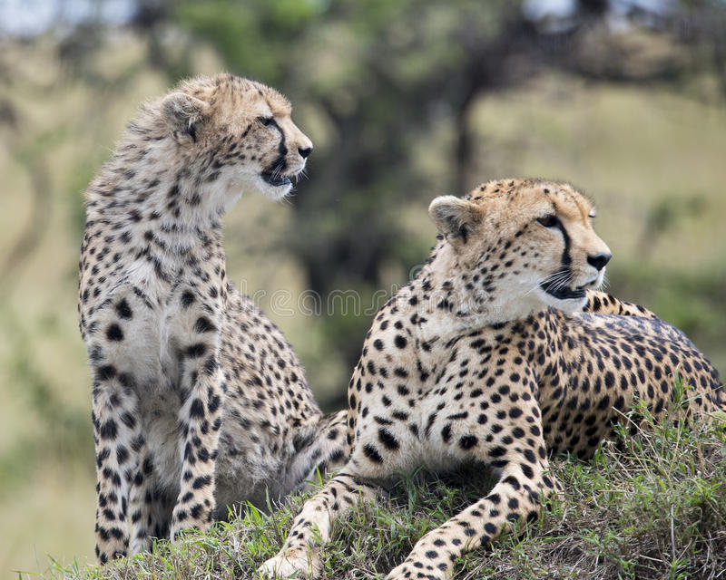Closeup frontview of two cheetah resting on top of a grass covered mound. In the Masai Mara National Reserve, Kenya royalty free stock images