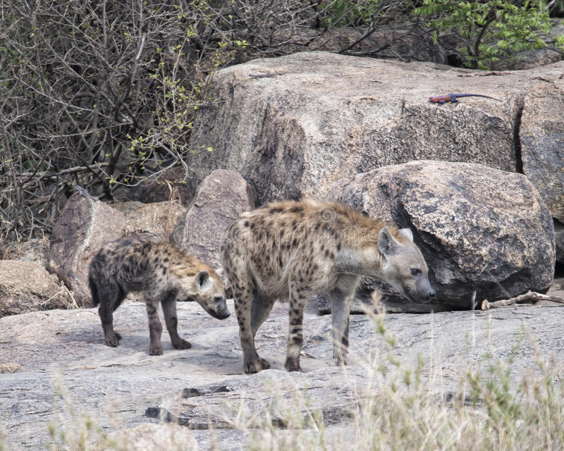 Closeup frontview of two spotted hyenas standing on a rock. In the Serengeti National Park, Tanzania stock photos