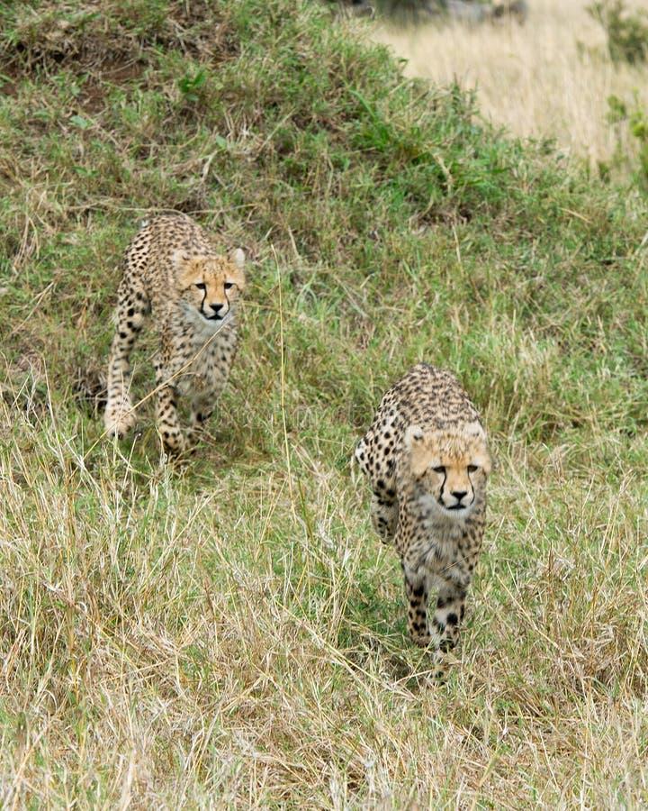 Closeup frontview of two young cheetah running toward the camera through tall grass. Closeup frontview of two young cheetah running toward the camera through royalty free stock image