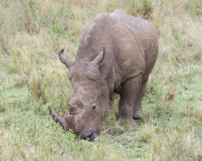Closeup frontview of a White Rhino standing eating grass. In the Masai Mara National Reserve, Kenya royalty free stock images