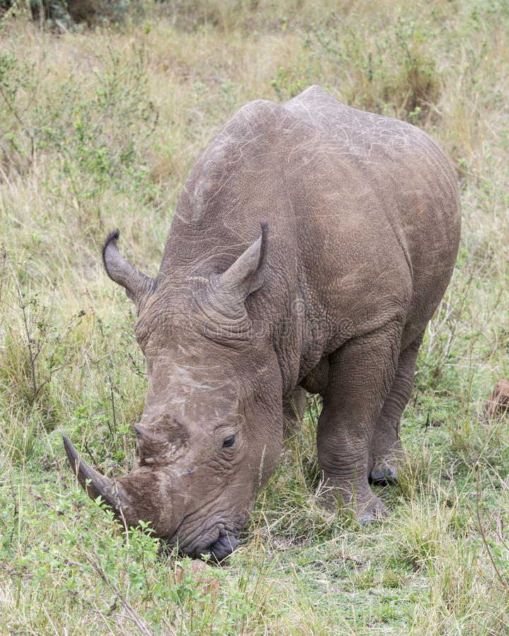 Closeup frontview of a White Rhino standing eating grass. In the Masai Mara National Reserve, Kenya stock images