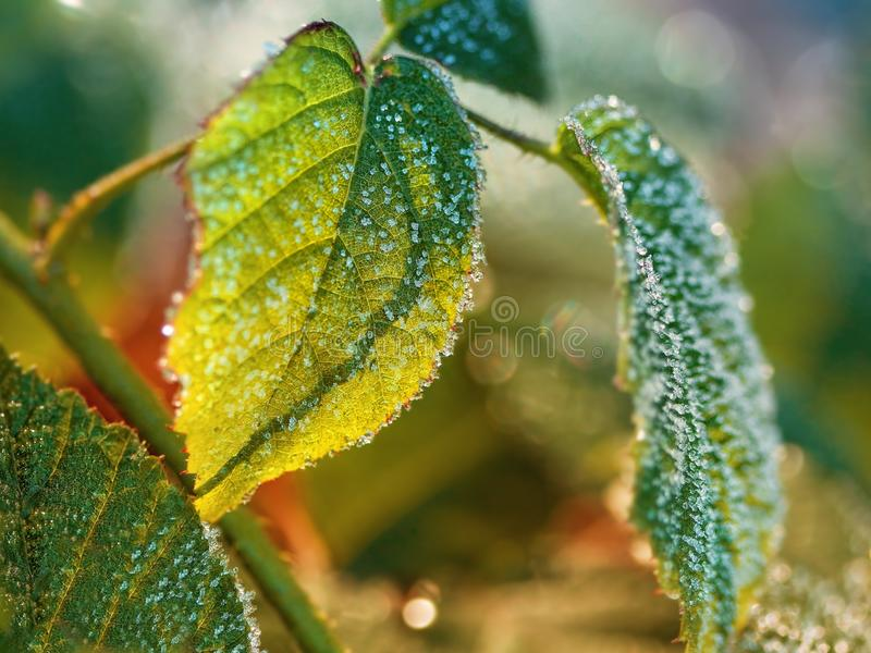 Closeup of frozen leaves. Detail of frozen raspberry leaves royalty free stock image