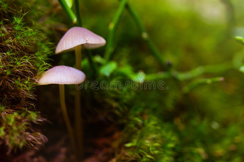 Closeup fungus in green moss royalty free stock images