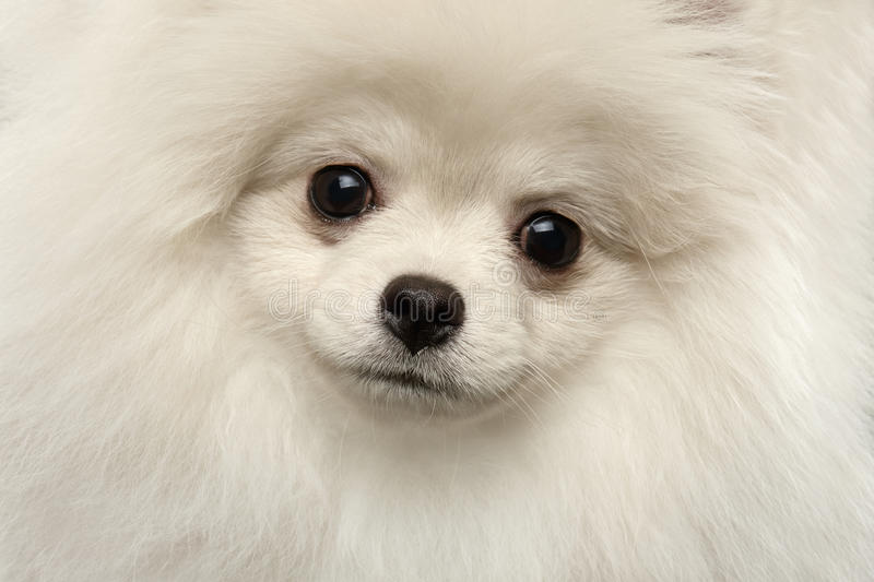 Closeup Furry Cute White Pomeranian Spitz Dog Funny Looking, isolated stock photos