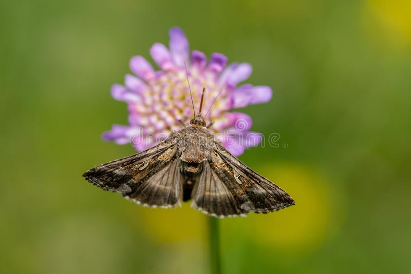 Closeup of a Gamma Moth Autographa gamma sitting on a pink flower. Gamma moth sitting on a pink flower drinking nectar in bright sunshine and green background stock image
