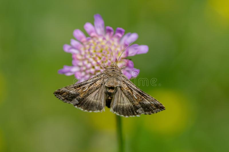 Closeup of a Gamma Moth on pink flower. Gamma moth sitting on a pink flower drinking nectar, in bright sunshine and green and yellow background royalty free stock images