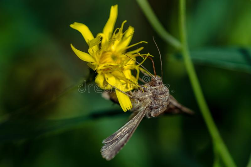 Closeup of a Gamma Moth a sitting on a yellow flower. Gamma moth, Autographa gamma, hanging upside down on a yellow flower drinking nectar stock images