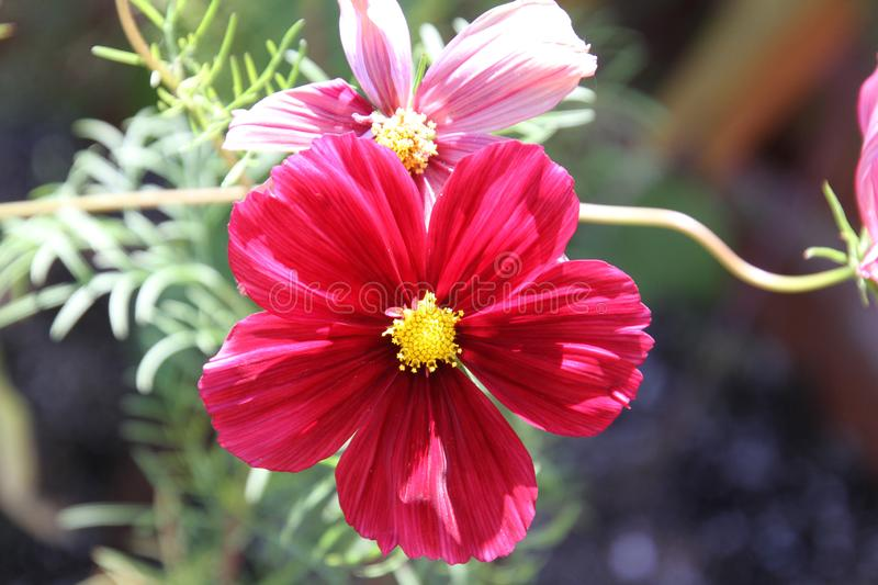 A closeup of a garden cosmos. A pinkish red blossom with a yellow center stock image