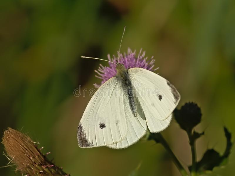 Closeup of a garden white butterfly getting nectar from a pink thistle flower  - Pieris. Garden white butterfly sitting with open wings on a bright pink thistle stock photography