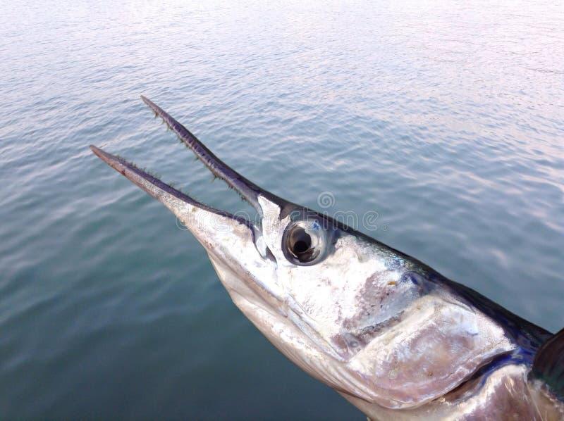 Marine fish. Closeup garfish on blue ocean water royalty free stock photos