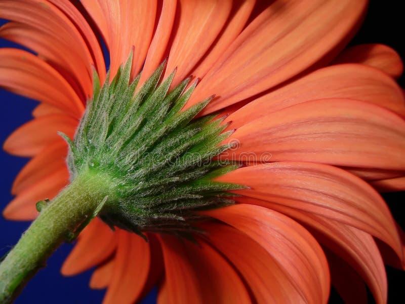 Closeup Of Gerber Daisy Stem Stock Photos