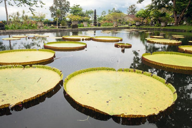 Closeup of giant water lilies. In the Tirtaganga temple stock images