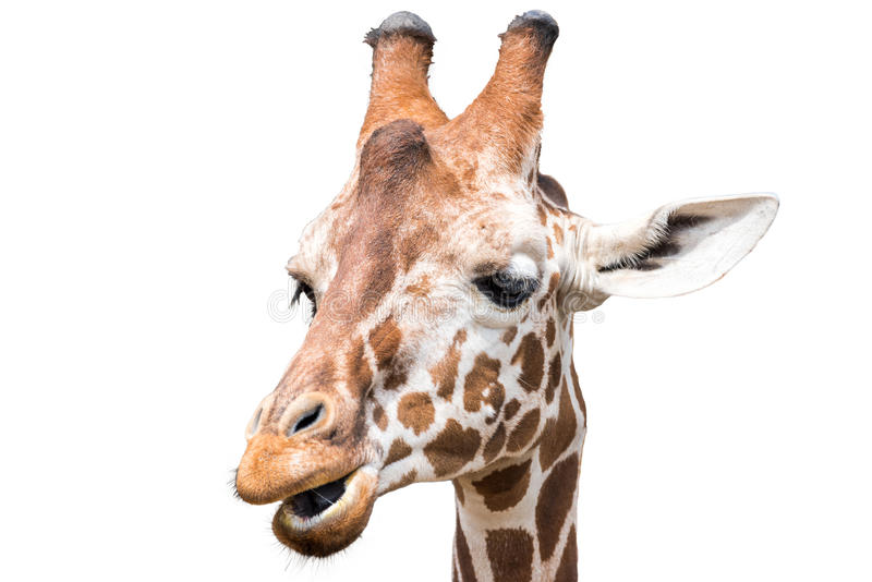 Closeup of a giraffe isolated on a white background. Closeup of a giraffe chewing isolated on a white background stock photo