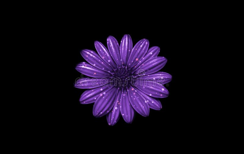 Closeup of a glittering purple cape marguerite flower isolated on black background. A glittering purple cape marguerite flower isolated on black background royalty free stock photos