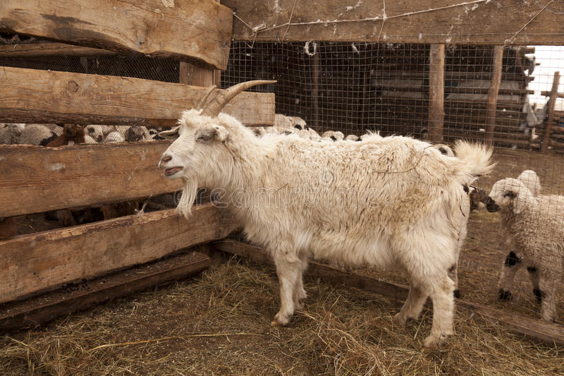 Download Closeup Of Goat In Mongolia Stock Photo - Image: 24773082