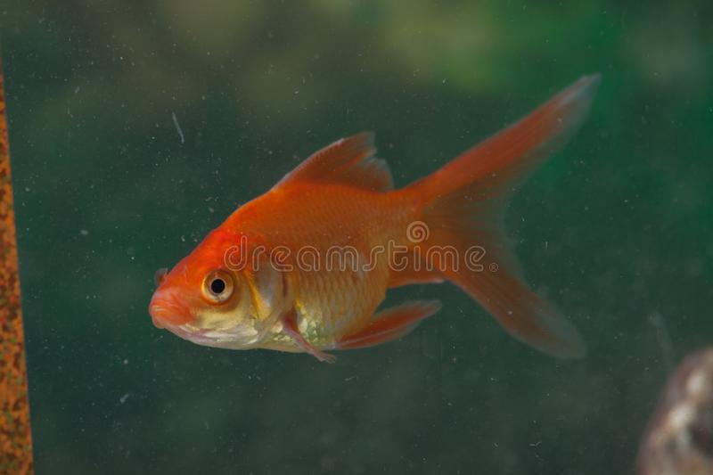 Closeup of a gold fish in a fish tank royalty free stock photography