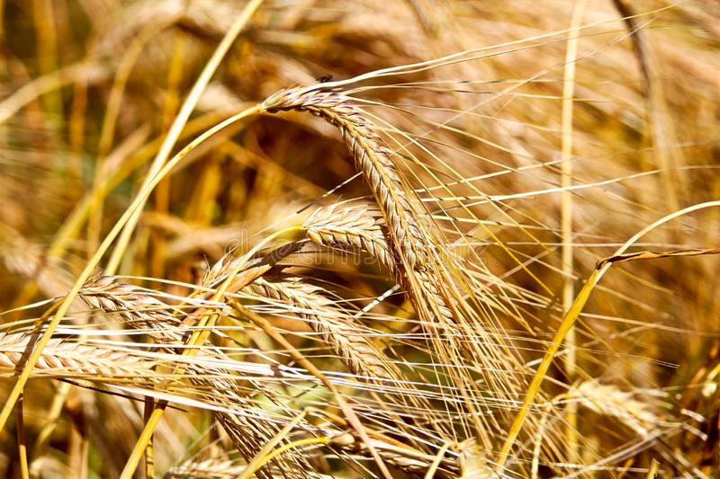A closeup of golden barely heads and hairs.  royalty free stock images