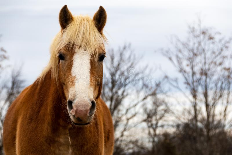 Closeup of a golden brown horse in the pasture with trees. stock photography