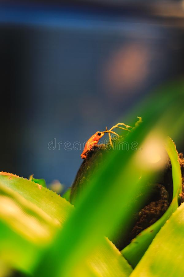 Golden Poison Arrow Frog in natural rainforest environment. Closeup of a Golden Poison Arrow Frog in natural rainforest environment stock images