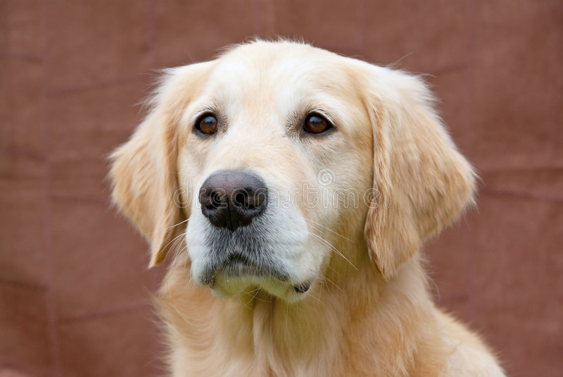 Closeup of Golden Retriever dog royalty free stock photography