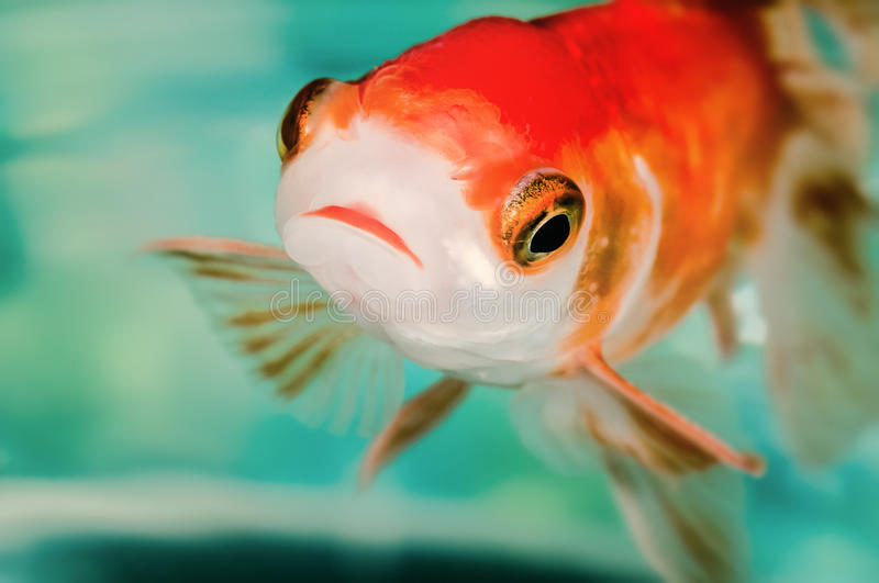 Closeup goldfish macro bright red orange colour big eyes.  royalty free stock photography
