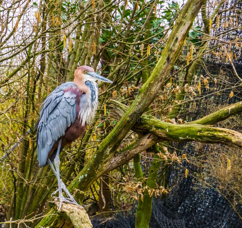 Closeup of a goliath heron sitting on a tree branch, worlds largest heron specie, Bird from Africa and Asia royalty free stock photos