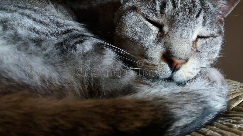 Closeup gray striped sleeping cat stock photo